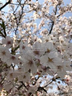 花,春,桜,お花見,桜の花,さくら