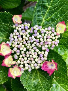紫陽花のつぼみたちの写真・画像素材[2171759]