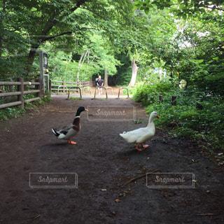自然,動物,屋外,散歩,鴨,レジャー,お散歩,ライフスタイル,おでかけ