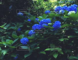 自然,花,雨,植物,青,紫,紫陽花,梅雨,天気,雨の日,アジサイ