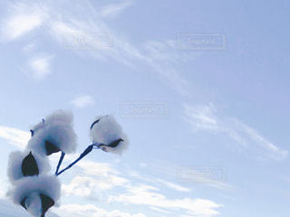 コットンフラワー収穫の空の写真・画像素材[2423356]