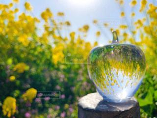 菜の花畑の写真・画像素材[3037664]
