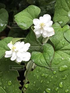 花,雨,屋外,緑,植物,白,水滴,葉,梅雨,天気,草木,雨の日,ドクダミ,八重咲き
