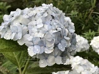 花,雨,屋外,植物,白,水滴,水色,紫陽花,梅雨,天気,雨の日