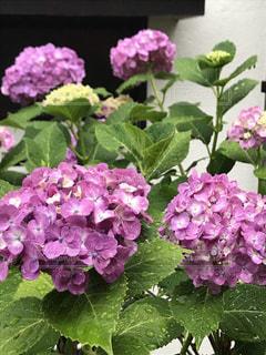 ピンクの紫陽花の写真・画像素材[2190726]