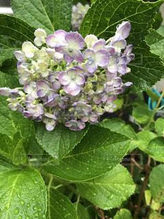 花,雨,屋外,ピンク,植物,水滴,葉,紫陽花,梅雨,天気,雨の日