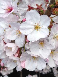 自然,桜,屋外,ピンク,植物,ハート,鼻,マーク