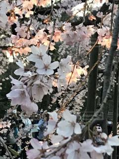桜ライトアップの写真・画像素材[2644572]