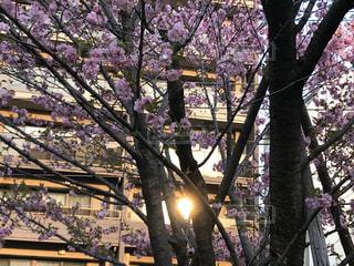 空,花,春,桜,ビル,屋外,太陽,光,樹木,草木,ブロッサム
