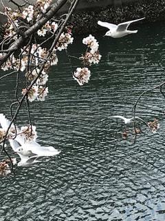 花,春,桜,鳥,木,川,水面,花見,お花見,カモメ