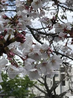 花,春,桜,木,花見,樹木,草木,桜の花,さくら,ブルーム,ブロッサム