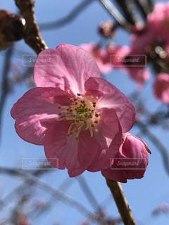 花,春,桜,ピンク,青空,花びら,草木,ブルーム,ブロッサム,緋桜,フローラ