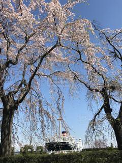 空,花,春,桜,木,ピンク,青空,青,船,花見,樹木,枝垂れ桜
