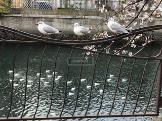 春,桜,動物,鳥,木,川,花見,カモメ,ラック