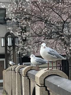 春,桜,動物,鳥,木,屋外,花見,コンクリート,カモメ,縁石,エリア