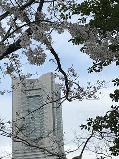 花,春,桜,ビル,木,花見,お花見