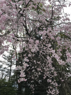 花,春,森林,屋外,樹木,枝垂れ桜,草木,桜の花,さくら,ブルーム,ブロッサム,オーク