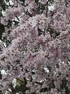 花,春,桜,ピンク,樹木,枝垂れ桜,草木,桜の花,さくら,ブルーム,ブロッサム