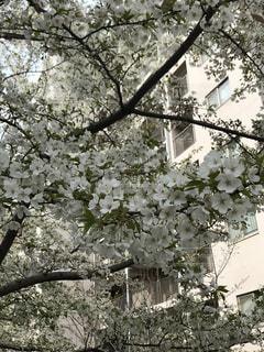 花,春,桜,木,屋外,白,枝,花見,樹木,お花見,草木,オオシマザクラ