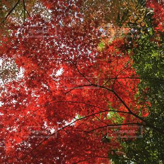 紅葉の写真・画像素材[1607860]