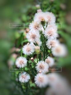 優しい綿毛の写真・画像素材[2280866]