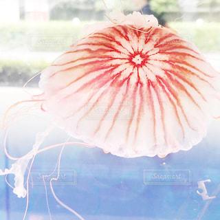 オシャレなクラゲの写真・画像素材[2293384]