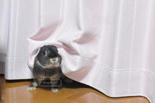 カーテンの前に座っている猫の写真・画像素材[2170497]
