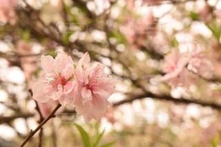 自然,花,春,桜,木,ピンク,花びら,満開,桜の花,ブロッサム