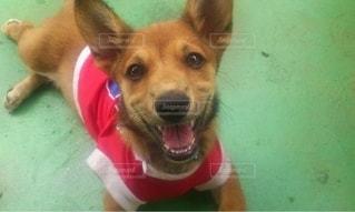 口を開けた犬の写真・画像素材[2718726]