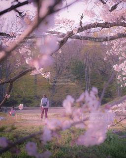 家族,公園,花,春,桜