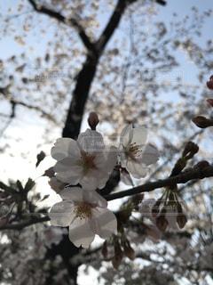 花,春,桜,屋外,花びら,樹木,草木,桜の花,さくら,開花,ブロッサム