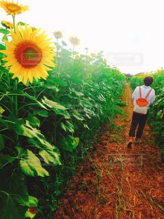 自然,夏,ひまわり,後ろ姿,向日葵,人物,背中,人,後姿,ひまわり畑