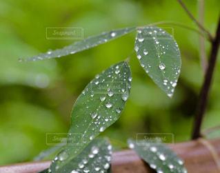 雨,葉,初夏,梅雨,しずく,雨粒,梅雨入り