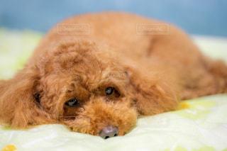 ベッドに横たわる犬のクローズアップの写真・画像素材[2282468]