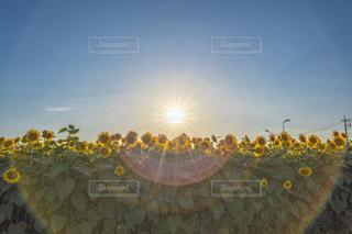 空,太陽,ひまわり,夕方,光,夕陽,フレア,ひまわり畑