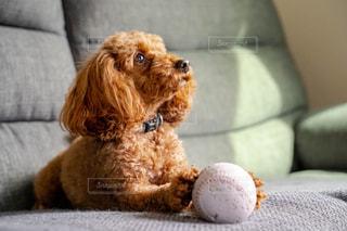 ソファに座っている犬の写真・画像素材[3207175]