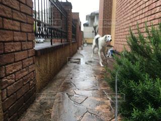 犬,木,雨,家,梅雨,天気,大型犬,雨の日,ボルゾイ