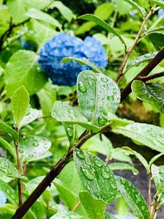 雨の日の葉の写真・画像素材[2187241]
