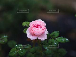 花,雨,ピンク,水滴,バラ,梅雨,天気,雨の日