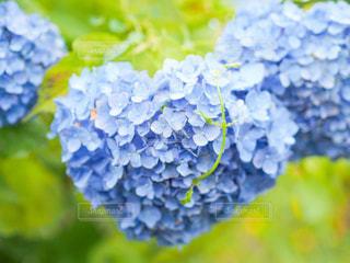 花,雨,緑,あじさい,青,葉,ハート,紫陽花,梅雨,天気,heart,雨の日,はーと