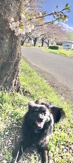 犬も花見の写真・画像素材[4321627]