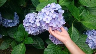 花,雨,あじさい,梅雨,アジサイ
