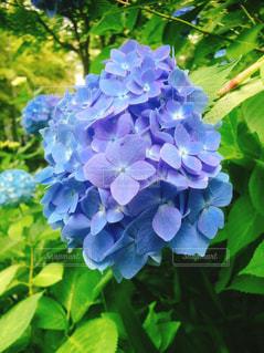花,緑,あじさい,青,紫陽花,日本,和,梅雨,6月,接写,アジサイ