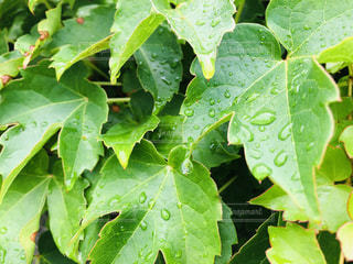 雨,葉っぱ,雫