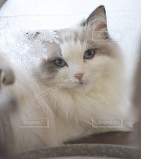 ベールを被ったネコの写真・画像素材[2168698]