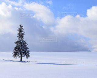 美瑛のクリスマスツリーの木の写真・画像素材[2810766]