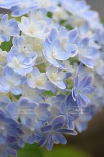 アジサイ万華鏡の写真・画像素材[4571366]
