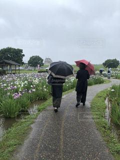 雨の日の菖蒲園の写真・画像素材[2219560]