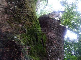 森の中の大きな木の写真・画像素材[2220531]
