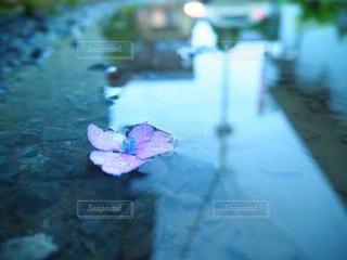 紫陽花の花の写真・画像素材[2172003]